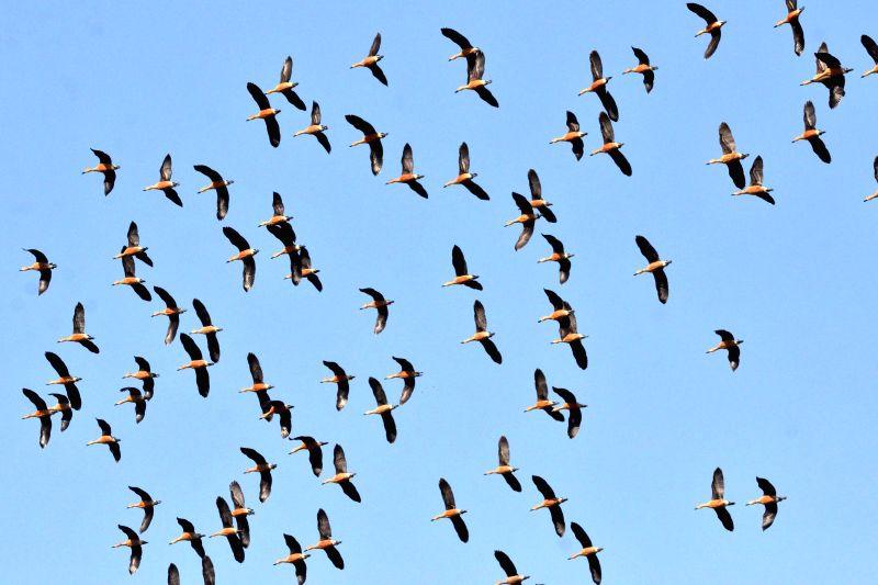 A flock of Lesser whistling ducks flies in Nagaon skies on Jan 14, 2015.