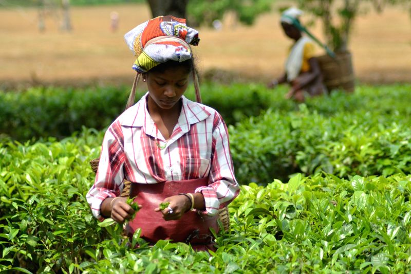A tea garden worker pluck the first tea leaves at Salna Tea estate in Nagaon, on April 21, 2015.