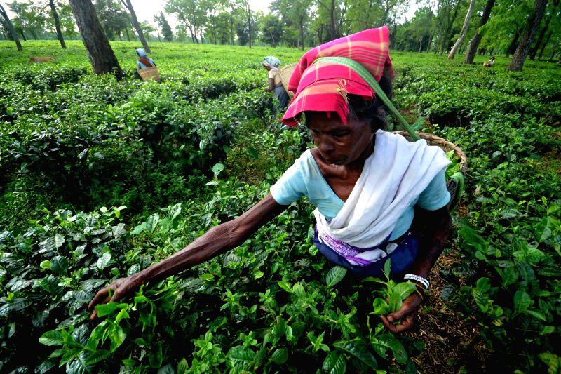 A tea garden worker plucks tea leaves at a tea estate in Nagaon district of Assam.
