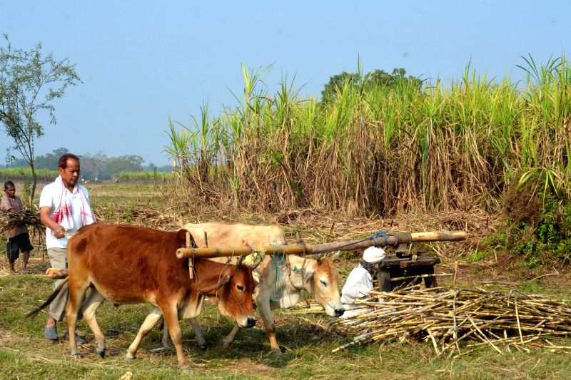 Farmers extract sugarcane juice in the fields using traditional method in Nagaon of Assam on Feb 22, 2015.