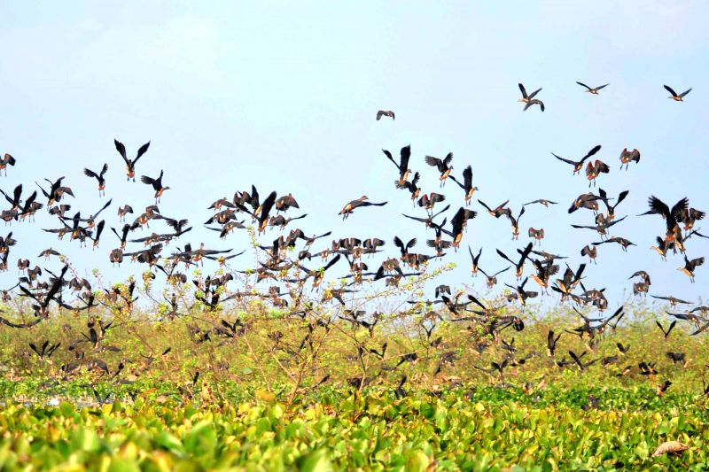 Migratory birds arrive at Hahila Beal in Nagaon of Assam on Nov 25, 2014.