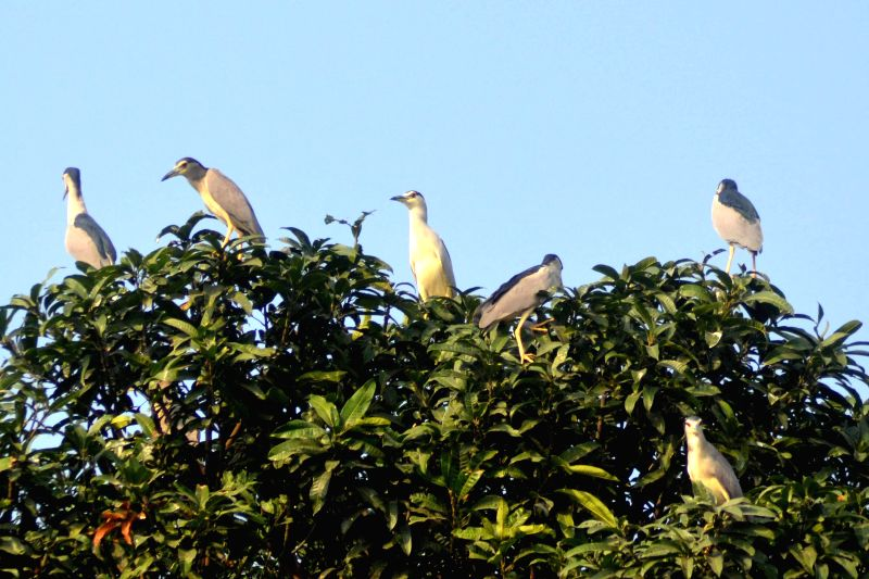 Migratory birds sit atop a tree at Natun Bazar in Nagaon district of Assam on Dec 09, 2014.