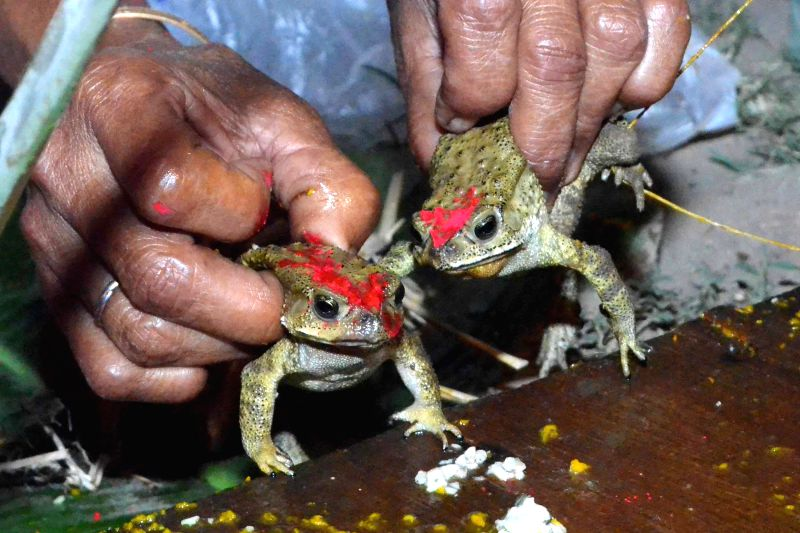 People conduct marriage of frogs so as to please the rain god in Nagaon of Assam.