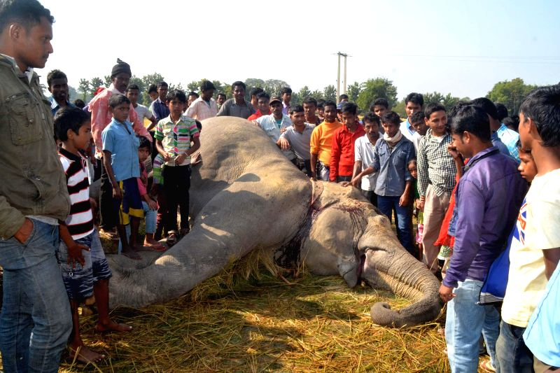 Villagers gather around the body of an elephant in a paddy field of Balijuri village in Nagaon district of Assam on Dec 3, 2014. It is assumed that the elephant died after being electrocuted.