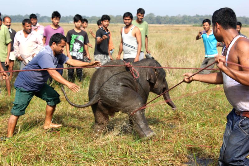 Villagers try to rescue an elephant calf that was separated from its heard in Nagaon district of Assam on Dec 15, 2014.