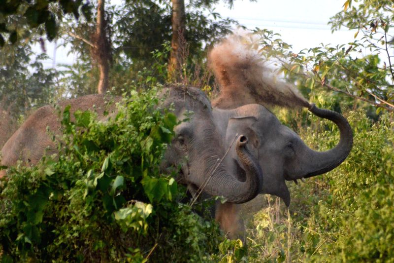 Wild elephants play with grass and mud as it approaches paddy fields in a village of Assam's Nagaon district on Nov 28, 2014.