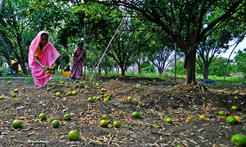 A lady picks up oranges strewn on the ground after hailstorm hit Dhanola  village of Maharashtra's Nagpur district on March 16, 2015.