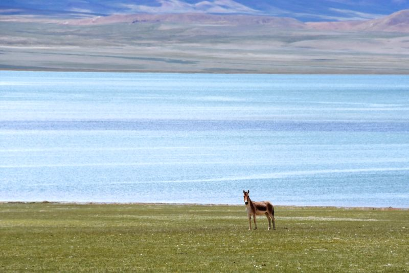NAGQU, Aug. 4, 2018 - A wild Tibetan ass is seen in the Qiangtang state-level nature reserve in Gacuo Township of Shuanghu County under Nagqu City, southwest China's Tibet Autonomous Region, Aug. 3, ...