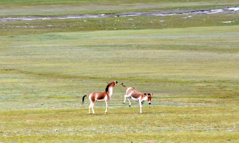 NAGQU, Aug. 4, 2018 - Wild Tibetan asses play in the Qiangtang state-level nature reserve in Gacuo Township of Shuanghu County under Nagqu City, southwest China's Tibet Autonomous Region, Aug. 3, ...
