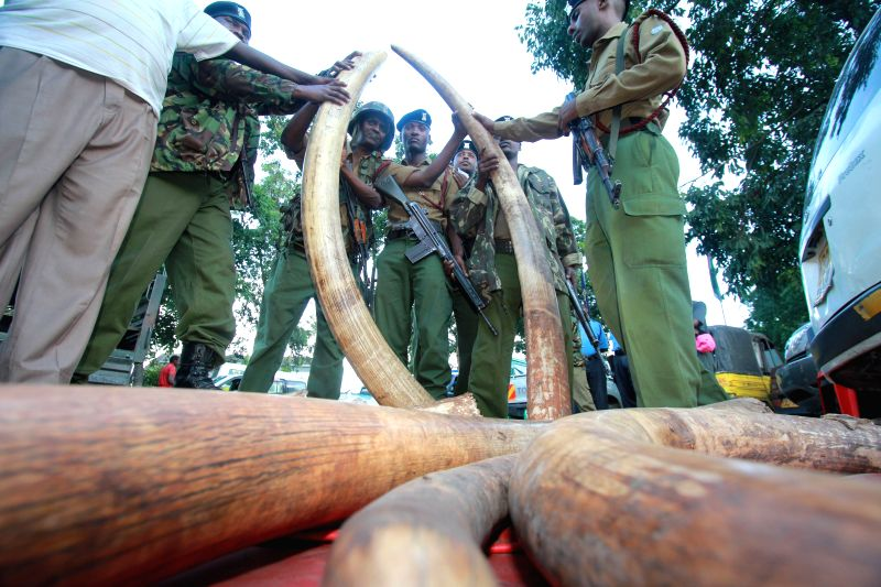 File photo shows Kenyan police officers check 302 pieces of ivories, including 228 elephant tusks seized in a warehouse during a raid in the port city of Mombasa, ..