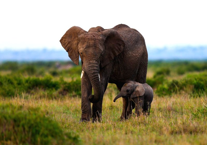 File photo shows an African elephant and its cub are seen in the Maasai Mara National Reserve, Kenya, Nov. 24, 2013. The World Elephant Day was launched on Aug. 12,