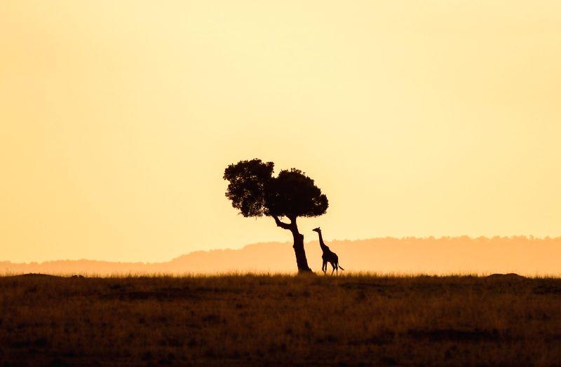NAIROBI, Aug. 30, 2017 - A giraffe walks at the Maasai Mara National Reserve, Kenya, Aug. 28, 2017.