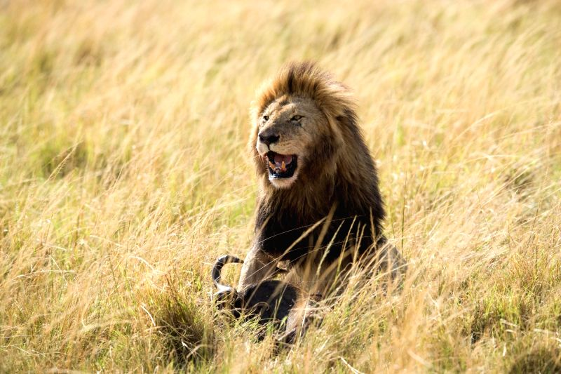 NAIROBI, Aug. 30, 2017 - A lion eats a wildebeest at the Maasai Mara National Reserve, Kenya, Aug. 29, 2017.