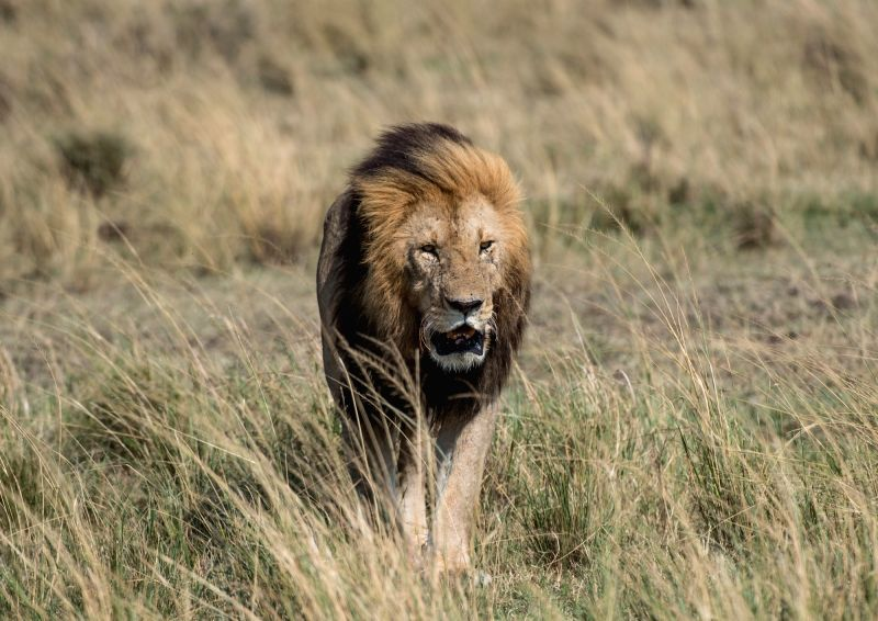 NAIROBI, Aug. 30, 2017 - A lion walks at the Maasai Mara National Reserve, Kenya, Aug. 29, 2017.