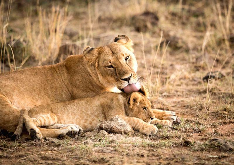 NAIROBI, Aug. 30, 2017 - A lioness licks her cub at the Maasai Mara National Reserve, Kenya, Aug. 28, 2017.