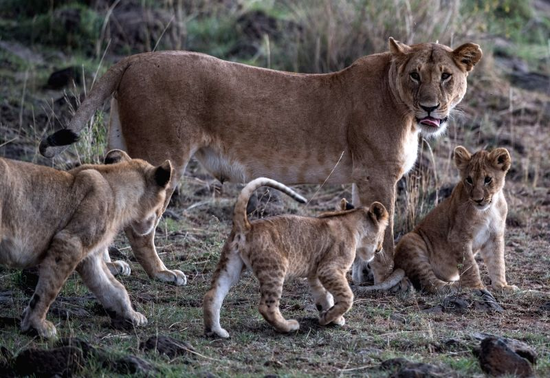 NAIROBI, Aug. 30, 2017 - A lioness walks with her cubs at the Maasai Mara National Reserve, Kenya, Aug. 28, 2017.