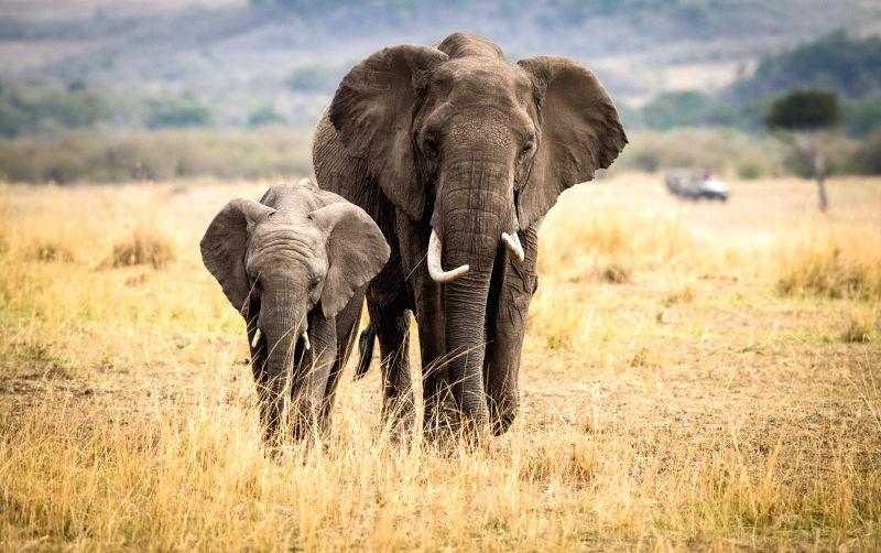 NAIROBI, Aug. 30, 2017 - Two elephants walk at the Maasai Mara National Reserve, Kenya, Aug. 28, 2017.