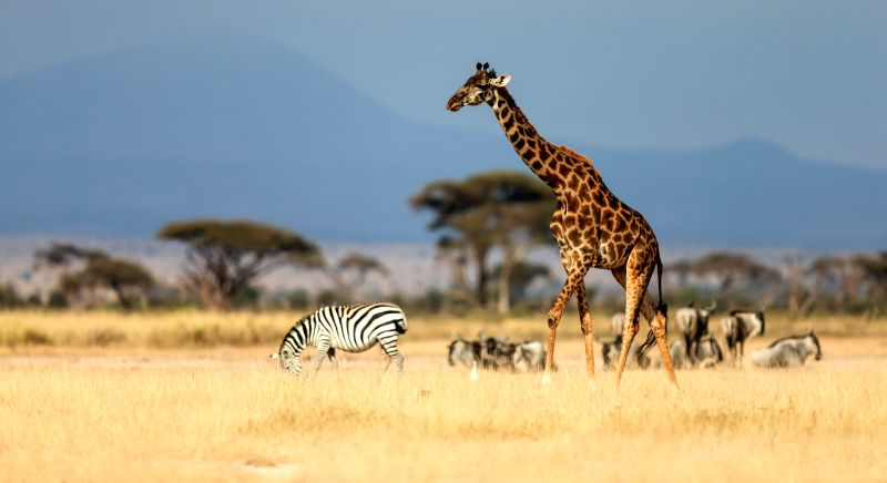 A giraffe is seen at the Amboseli National Park of Kenya, July 16, 2014. The annual wildlife migration that kicked off in early July from Tanzania's Serengeti ...