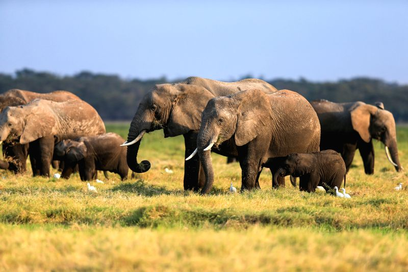 African elephants have their meals at the Amboseli National Park of Kenya, July 16, 2014. The annual wildlife migration that kicked off in early July from ...