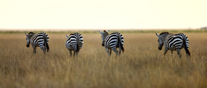 Four zebras are seen at the Amboseli National Park of Kenya, July 16, 2014. The annual wildlife migration that kicked off in early July from Tanzania's Serengeti ...