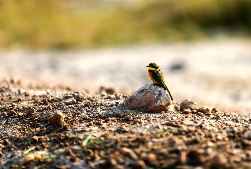 Photo taken on July 16, 2014 shows a little bee-eater at the Amboseli National Park of Kenya. The annual wildlife migration that kicked off in early July from ...