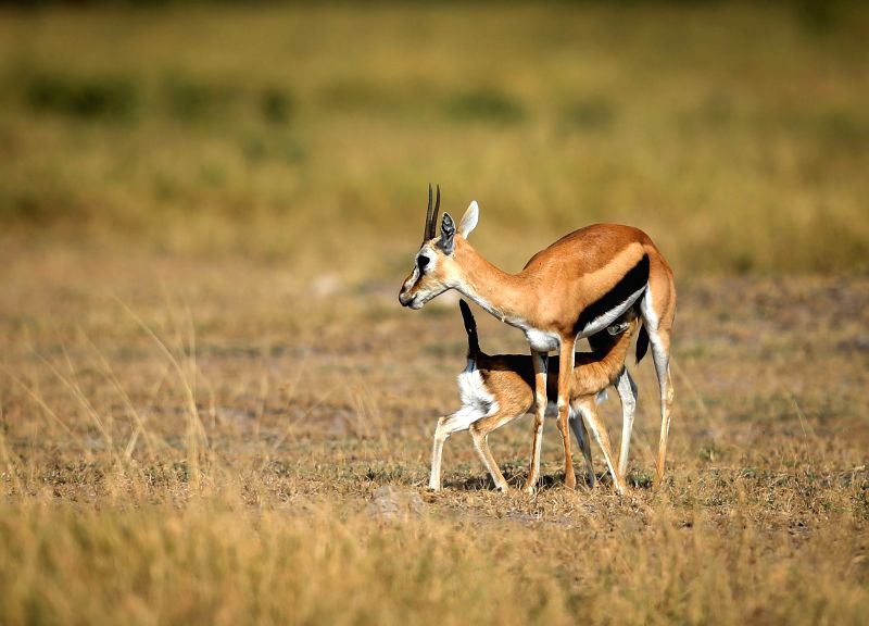 Photo taken on July 16, 2014 shows two Thomson's gazelles at the Amboseli National Park of Kenya. The annual wildlife migration that kicked off in early July from ..