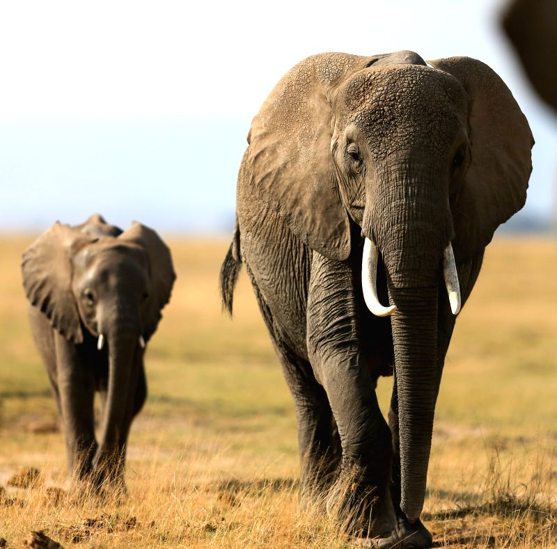 Two African elephants are seen at the Amboseli National Park of Kenya, July 16, 2014. The annual wildlife migration that kicked off in early July from Tanzania's ...