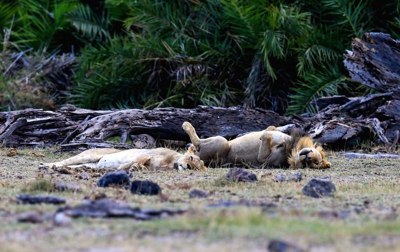 Two lions sleep at the Amboseli National Park of Kenya, July 16, 2014. The annual wildlife migration that kicked off in early July from Tanzania's Serengeti ...