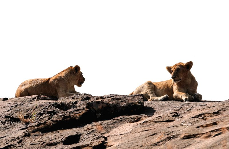 NAIROBI, July 25, 2016 - Lions rest on a rock in the Maasai Mara National Reserve, Kenya, July 24, 2016. The Maasai Mara National Reserve, popularly known as Africa's Greatest Wildlife Reserve, is a ...