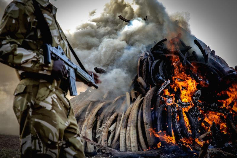 A Kenyan armed ranger stands guard at the site of burning contraband ivory in Nairobi, Kenya, on March 3, 2015. Kenyan President Uhuru Kenyatta on Tuesday set ...