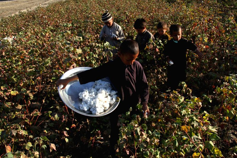 Nangarhar (Afghanistan): Afghan children harvest cotton buds at a field in Nangarhar province, east Afghanistan, Nov. 18, 2014.