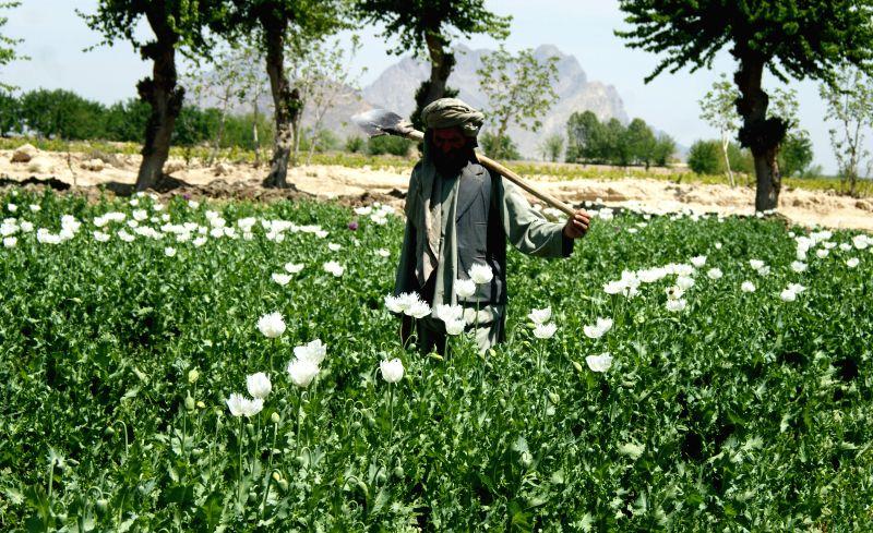 An Afghan farmer walks in a poppy field in Nangarhar province of eastern Afghanistan, on April 12, 2014.Photo: