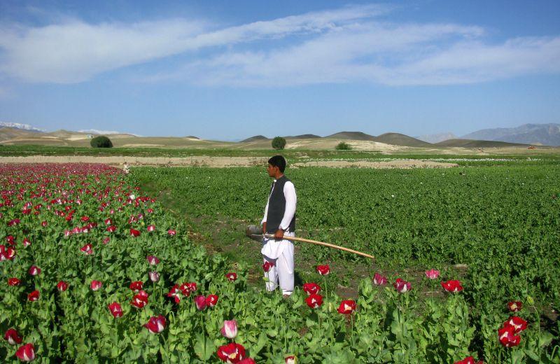An Afghan farmer works in a poppy field in Nangarhar province of eastern Afghanistan, on April 12, 2014.Photo: