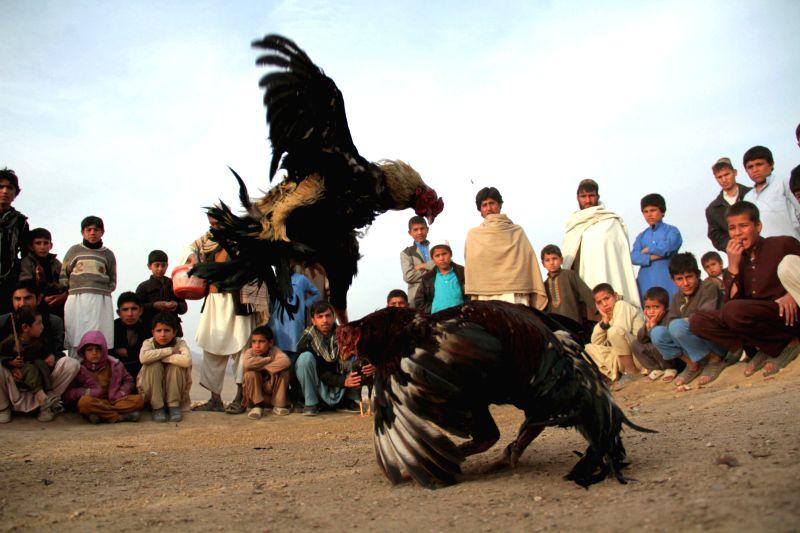 Afghans watch roosters fight in Nangarhar province, eastern Afghanistan, Feb. 6, 2015. (Xinhua/Tahir Safi)