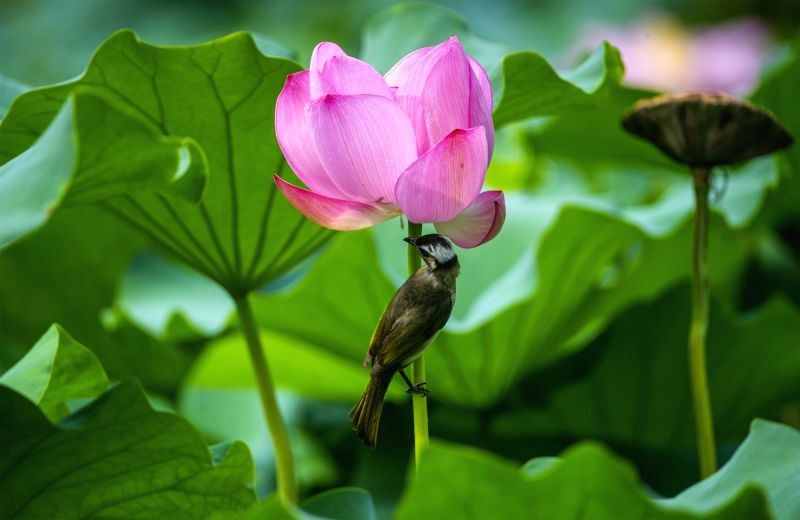 NANJING, Aug 7, 2017 - A bird enjoys the coolness  under a lotus flower at the Mochou Lake park in Nanjing, capital of east China's Jiangsu Province, Aug. 7, 2017.