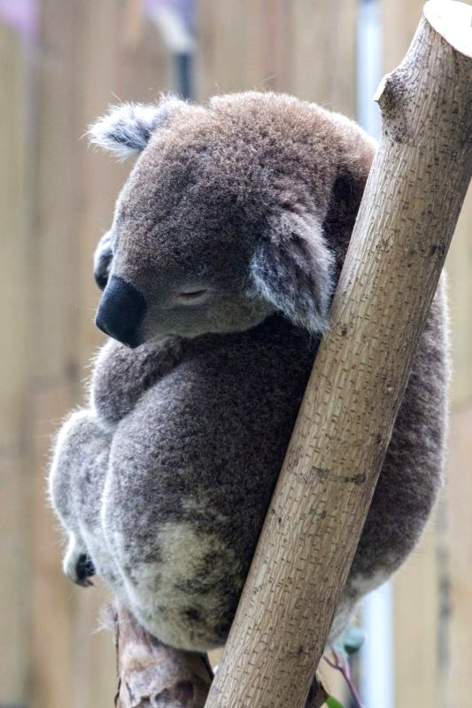 NANJING, March 16, 2018 - A koala meets the public at the Hongshan Forest Zoo in Nanjing, capital of east China's Jiangsu Province, March 15, 2018. There are totally two koalas in the zoo.