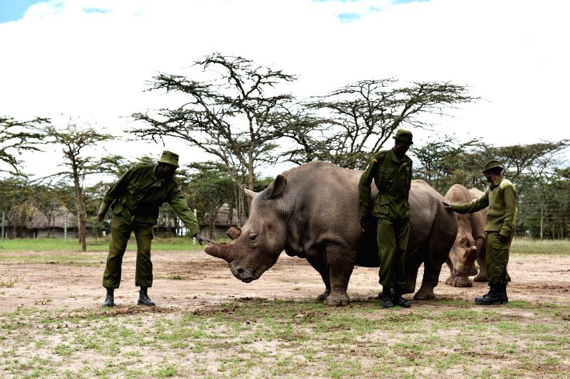 Three guards stand by a female northern white rhino called Najin inside an open enclosure at Ol Pejeta Conservancy in Nanyuki, Kenya, April 17, 2015. (Xinhua/Sun ...