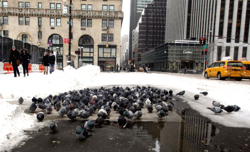 A flock of pigeons get together to keep warm in the street in Manhattan of New York City, the United States, Jan. 27, 2015. Most travel bans were lifted and ...