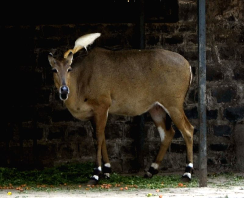 Nilgai at Jijamata Udyaan of Mumbai on April 28, 2014.