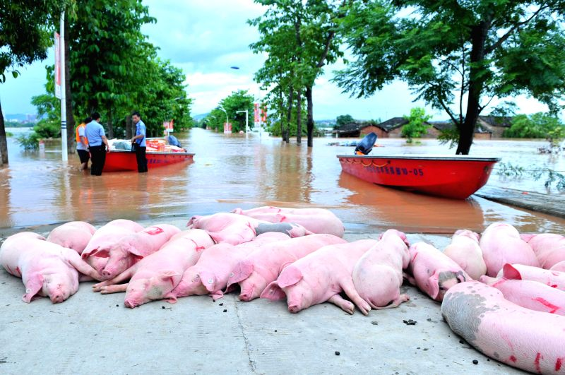 Pigs are evacuated to a safe place after landfall of the typhoon Rammasun in Ningming County, south China's Guangxi Zhuang Autonomous Region, July 21, 2014.   The .