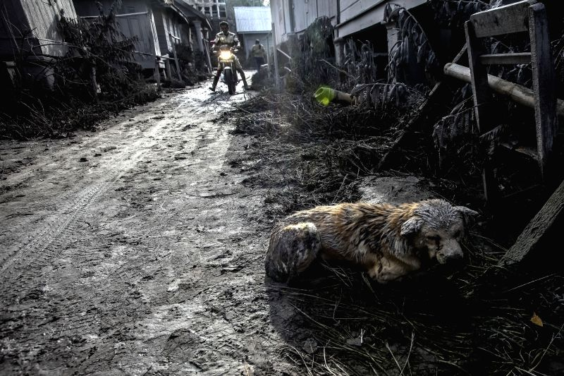 NORTH SUMATRA, May 22, 2016 - An injured dog covered in volcanic ash lies down after the eruption of Mount Sinabung in Gamber village, North Sumatra, Indonesia, on May 22, 2016. The death toll from ...