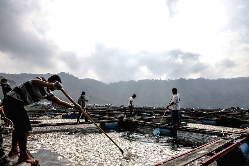 NORTH SUMATRA, May 6, 2016 - Fishermen collect dead fish floating on Lake Toba with net in North Sumatra, Indonesia, May 6, 2016. A shocking phenomenon of mass death of fish occurred at Lake Toba in ...