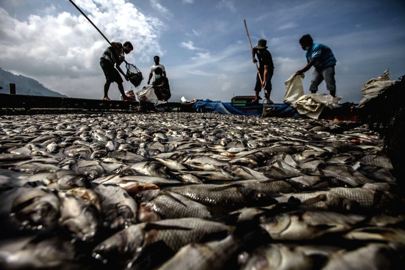 NORTH SUMATRA, May 6, 2016 - Fishermen collect dead fish floating on Lake Toba with net in North Sumatra, Indonesia, May 6, 2016. The Department of Fisheries said the deficiency of oxygen in the ...