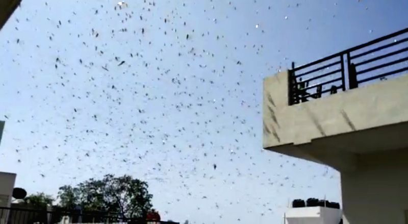 Now, drones and planes to fight locust menace in Rajasthan.