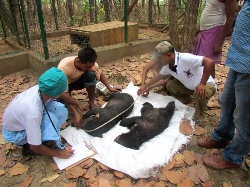 Officials of  International Fund for Animal Welfare (IFAW) and Wildlife Trust of India (WTI) record data of the three orphaned Asiatic black bear cubs who were fitted with radio-collars ahead of ...