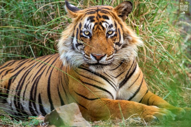 "Once his roar echoed in Ranthambore. Ustad ""T-24\"" is now under captivity"