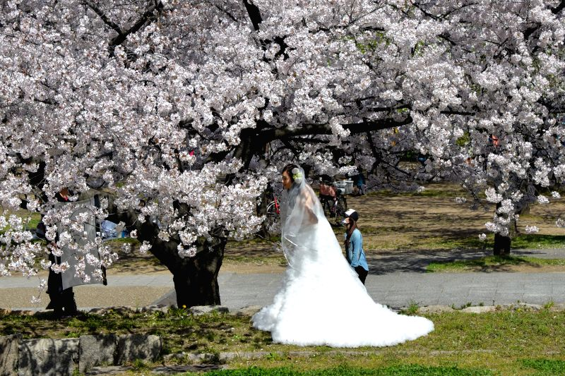 A bride takes a look at cherry blossoms at a park in Osaka, Japan, April 2, 2015.