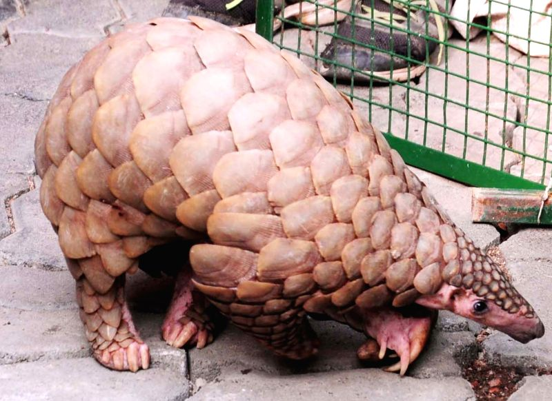 Pangolin. (File Photo: IANS)