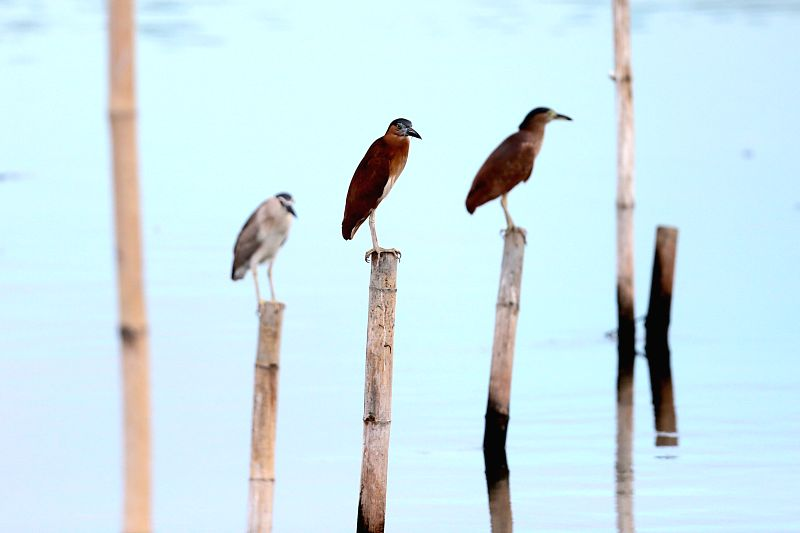 PARANAQUE CITY, April 14, 2018 - Migratory birds perch on bamboo stilts at the Manila Bay in Paranaque City, the Philippines, April 14, 2018. Over 80 endemic and migratory birds frequent the wetlands ...