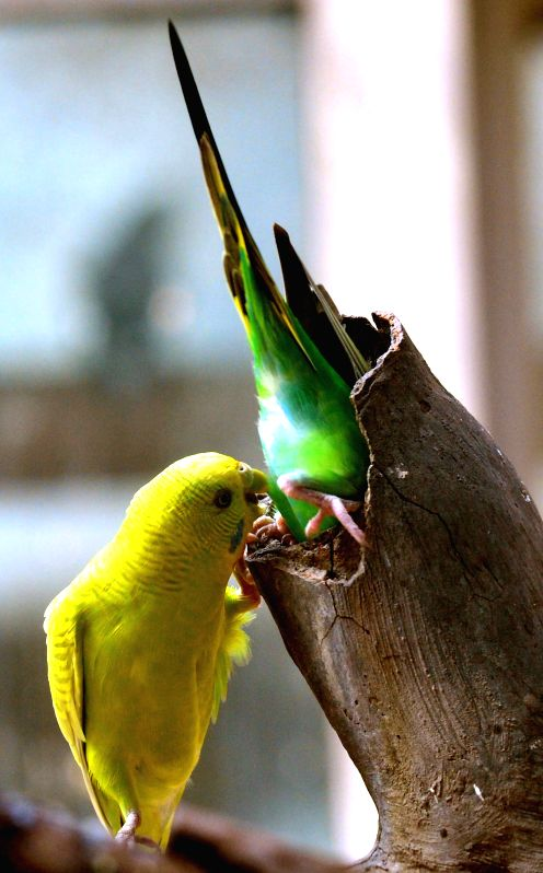 Parrots hide into tree hole to evade the heat in the Wangcheng Park Zoo in Luoyang City, central China's Henan Province, July 28, 2015.  (Xinhua/Gao Shanyue) ...